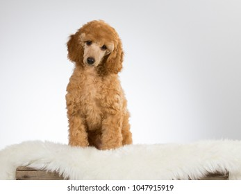 Poodle puppy in a studio with white background.