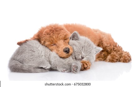 Poodle puppy and tiny kitten sleeping together. isolated on white background