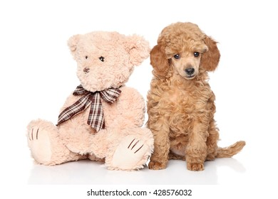 Poodle puppy with toy posing on white background