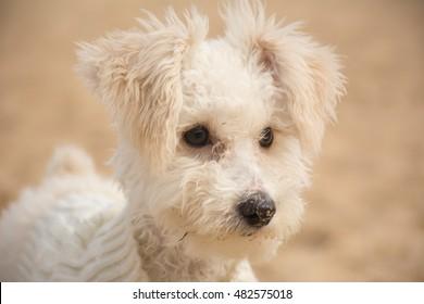 Poodle toy disfrutando en la playa