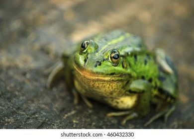 The pool frog (Pelophylax lessonae)