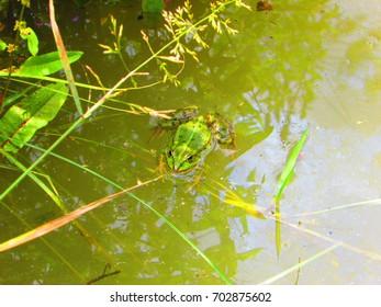 pool frog, Pelophylax lessonae,