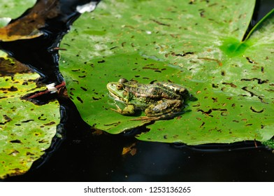 The pool frog (Pelophylax lessonae) is a European frog.