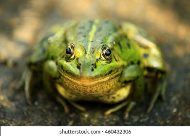The pool frog (Pelophylax lessonae) is a European frog