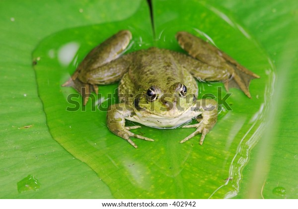 A pool frog (rana lessonae) on a lily pad.