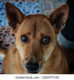Poor Brown Dogs in the countryside does not receive the vaccine as measles symptoms were a blind eye until it is no longer visible and Eye cataracts, but the skills of smell very good.