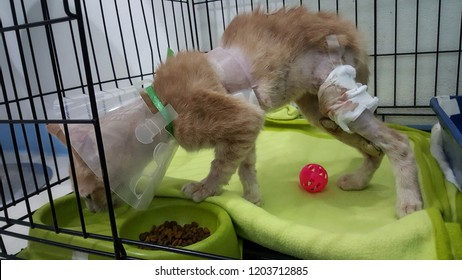 a poor cat with wound on chest and leg from dog attack.A ginger cat wearing buster collar drinking water in the pet bowl inside the cage at pet hospital.