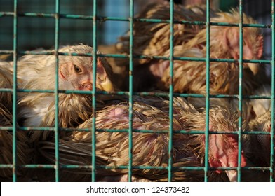 Poor Chickens in Coup
