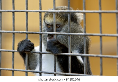 poor little sad monkey behind cage in zoo with begging look. Cool for illustrations about animal rights.