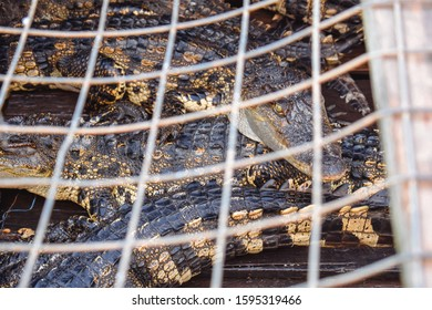 Poor young alligators hold in a cage prison to be sold for skin and meat in Kampong Phluk Cambodia