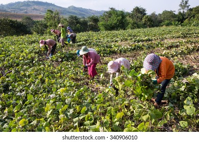 POP PRA, TAK - THAILAND - NOV18 : Myanmar migrant workers aged 12 years and above sickle harvesting green beans on a farm at Pop Pra, Tak, Thailand on NOVEMBER18, 2015