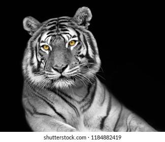 a pop of tiger