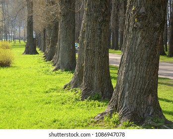 Poplar alley in the park at sunny spring day.