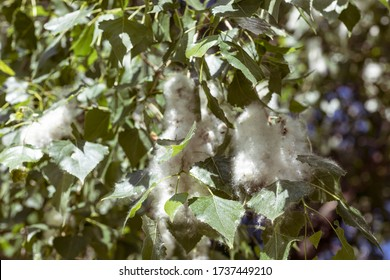 A lot of poplar fluff on a tree. Blooming poplar causes an exacerbation of allergies in people. Selective focus. Floral background.
