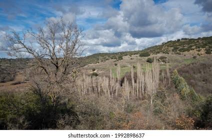 Poplar Grove am Talgrund. Foto aufgenommen in der Gemeinde Olmeda de las Fuentes, Provinz Madrid, Spanien
