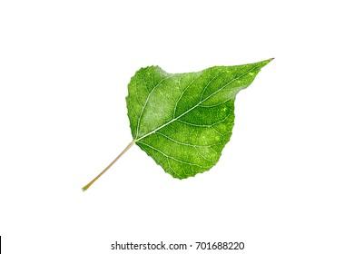 Poplar leaf on white background
