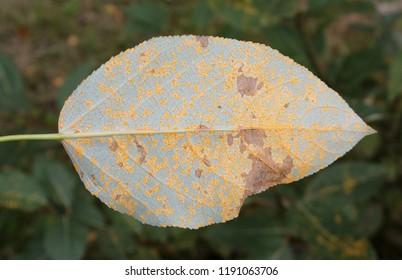Poplar rust caused by Melampsora sp. on green leaf of Balsam poplar or Populus balsamifera