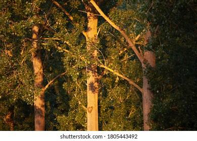 Poplar Tree details at sunrise