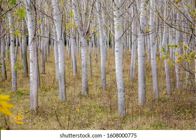 Poplar tree rows, plants planted in square grid at Zlato Pole protected area, Municipality of Dimitrovgrad, Haskovo Province, Bulgaria, selective focus, late autumn, almost leafless - Shutterstock ID 1608000775