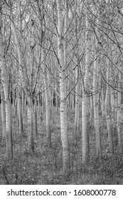 Poplar tree rows, plants planted in square grid at Zlato Pole protected area, Municipality of Dimitrovgrad, Haskovo Province, Bulgaria, selective focus, late autumn, almost leafless - Shutterstock ID 1608000778
