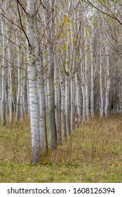 Poplar tree rows, plants planted in square grid at Zlato Pole protected area, Municipality of Dimitrovgrad, Haskovo Province, Bulgaria, selective focus, late autumn, almost leafless - Shutterstock ID 1608126394