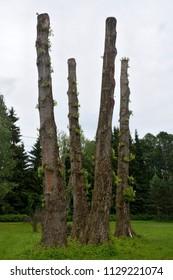 Poplar trees at the field