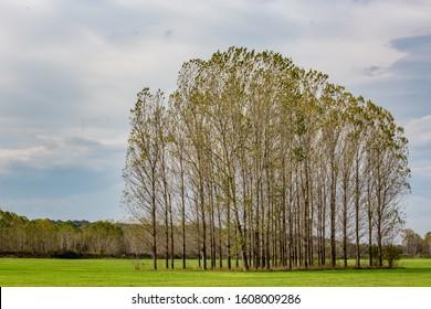 Poplar trees in row, Bulgarian late autumn green field near Zlato Pole village, Municipality of Dimitrovgrad, Haskovo province, Bulgaria, Europe. Amazing scenery landscape, beautiful sky - Shutterstock ID 1608009286