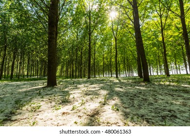 Poplar trees and white pollen in a forest in spring, under warm evening light
