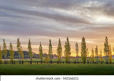Poplars all in a row line a fence back lit by the late afternoon sun in the Southern Highlands of New South Wales, Australia