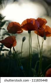 Poppies against the light, Sweden