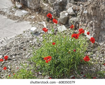 Poppies among the stones
