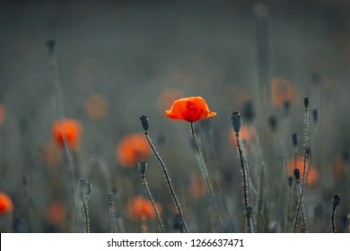 Poppies bloom in the middle of the field