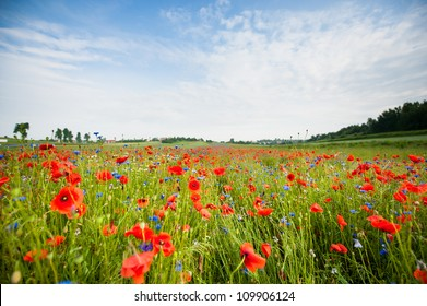 poppies blooming in the wild meadow. Beautiful landscape of Poland