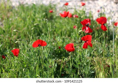 Poppies in a field, with beautiful green bokeh.