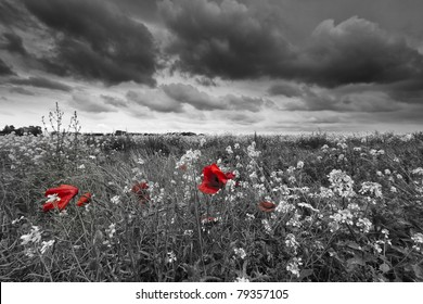 Poppies in a field in black and white