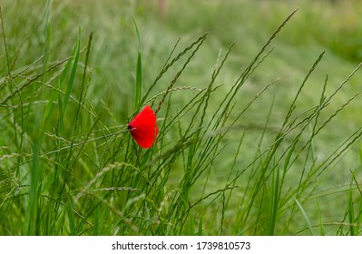 Poppies in the field. Red flowers. Seasonal plants. Weeds among cereals and grass. Wild flowers. Delicate petals. Plants on pastures and fields. Closed poppy petals.