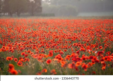 Poppies in the field - Remembrance Sunday background - Image