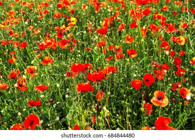 Poppies in a field in the summertime