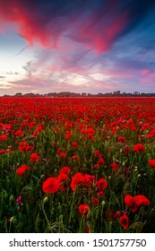 Poppies field under sunset with red skies