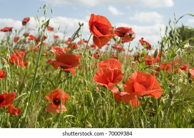 Poppies in fields of crops with cloudy sky