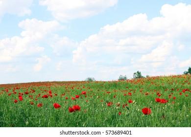 Poppies flower meadow landscape spring season