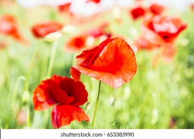 Poppies flower on green background ,wild ,natural, fresh ,petals , nature ,drops ,grass ,view ,dreamy ,beautiful ,red ,long ,plant ,summer