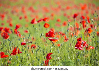 Poppies flower on green , background ,wild ,natural, fresh ,petals , nature ,drops ,grass ,view ,dreamy ,beautiful ,red ,long ,plant ,summer , many ,group ,together