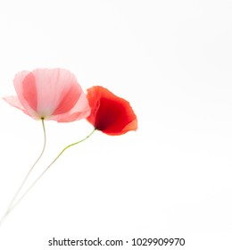 Poppies flowers on the white background. Soft, gentle, airy,  elegant artistic image.