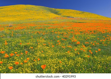 Poppies in full bloom at the Antelope Valley California Poppy Reserve near Lancaster California