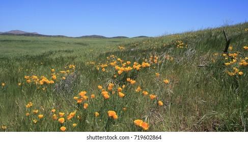 Poppies in a grassy field, California