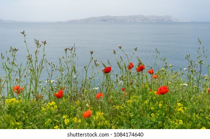Poppies and greenery in front of the ocean water