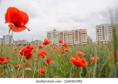 Poppies grow on the field
