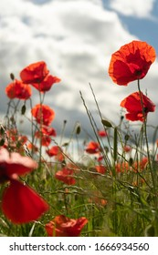 Poppies growing in a Northumberland Field, UK