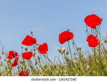 Poppies growing and remembering ANZAC Day.